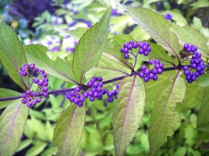 2011-10-20-Murasaki_0017.JPG